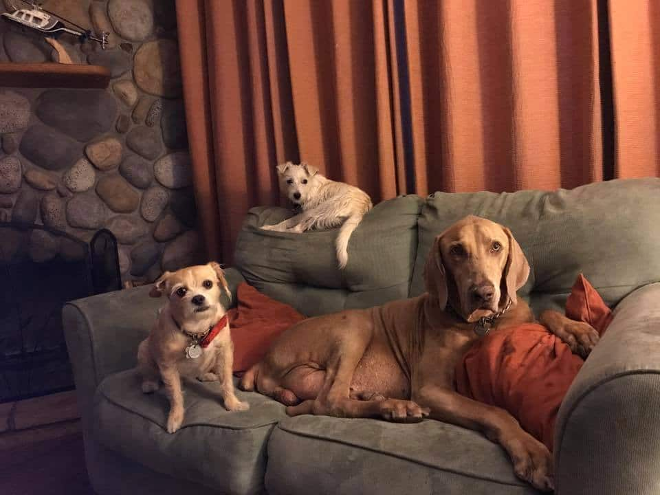 two terriers and a Weimaraner sitting on a blue couch with red curtains behind them