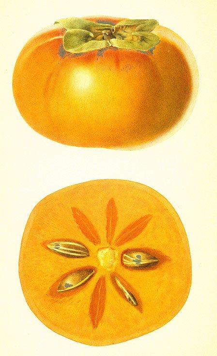 persimmon drawing