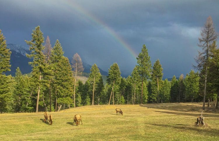 elk in a meadow with a rainbow